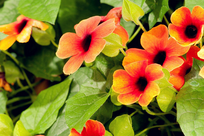 Thunbergia alata Sunrise