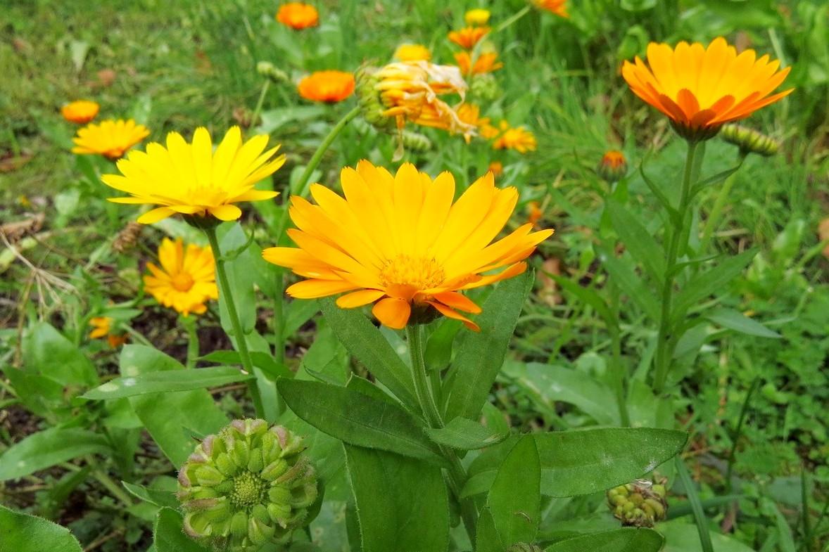 ноготки цветы полезные фото наиболее популярных