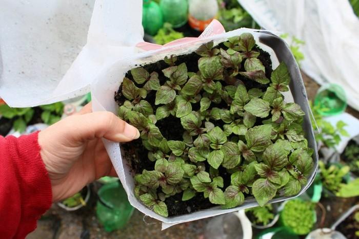 Выращивание периллы шисо из семян