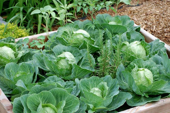 Белокочанная капуста: выращивание из рассады, сорта, хранение