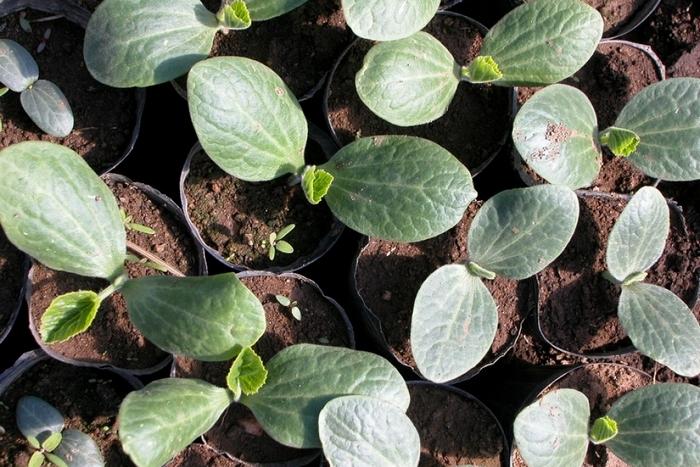 Дыня: выращивание, свойства и применение
