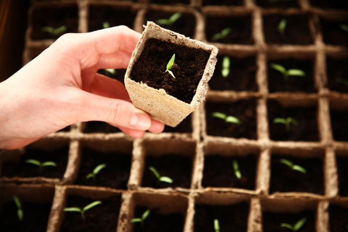 Когда сажать рассаду и семена помидор в открытый грунт и теплицу