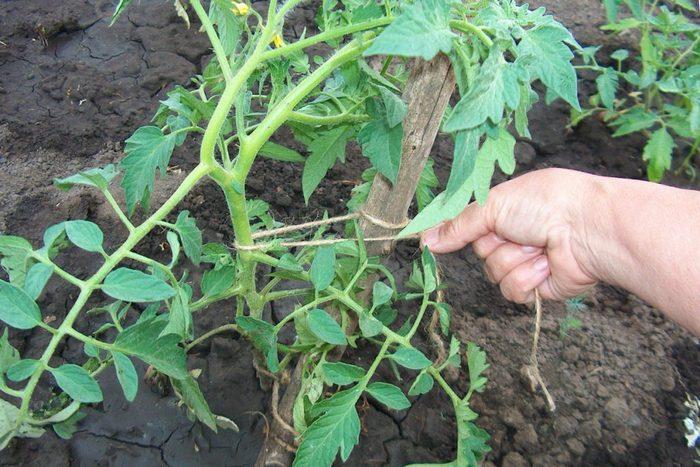 Подвязка помидоров в открытом грунте и теплице