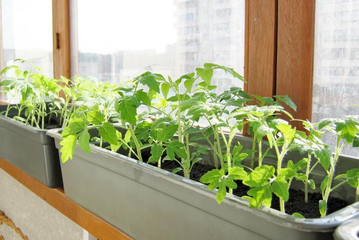 Выращивание помидоров на балконе в домашних условиях