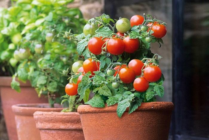Сорт помидоров для домашнего выращивания 87