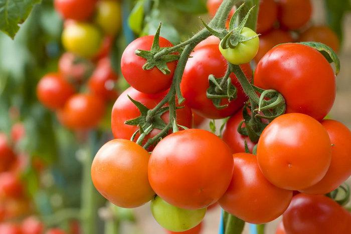 Выращивание помидоров в горшках в домашних условиях