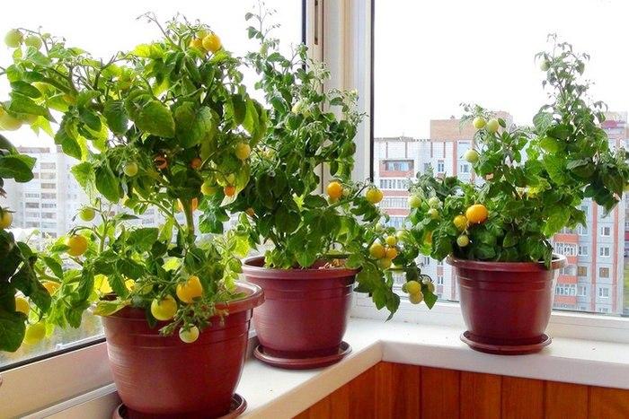 Как правильно выращивать помидор в домашних условиях 31