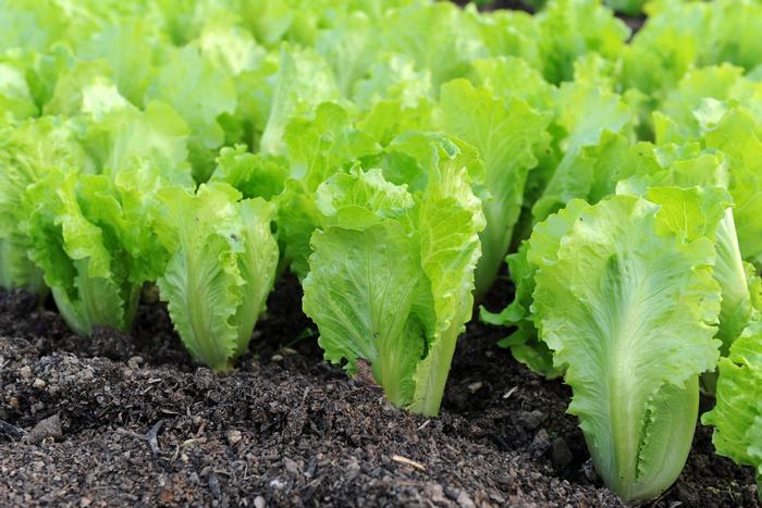 Правильное выращивание салата Айсберг Дорога к Бизнесу за 43