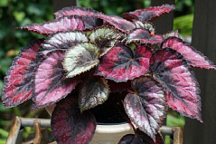 Rex Begonia 'Red Kiss'