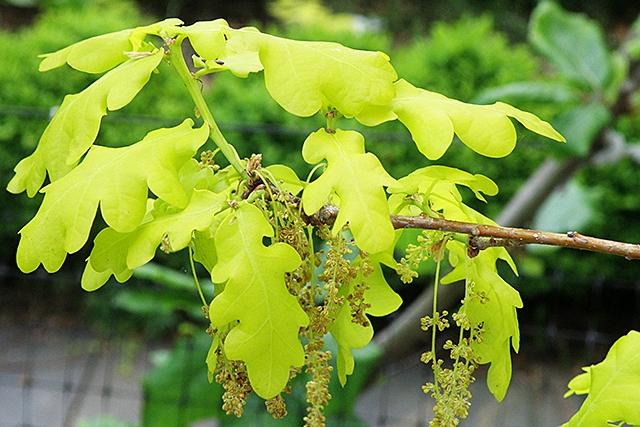 Дуб черешчатый (Quercus robur): сорта, выращивание и уход