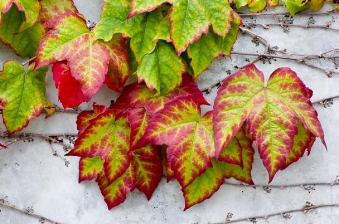 Девичий виноград: уход и размножение из семян или черенков