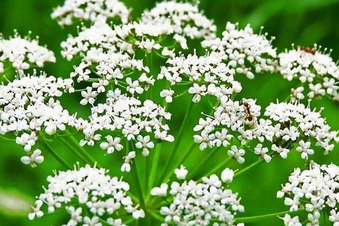 Анис обыкновенный: полезные свойства, выращивание