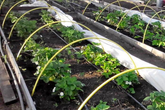 Выращивание клубники Дукат в теплице