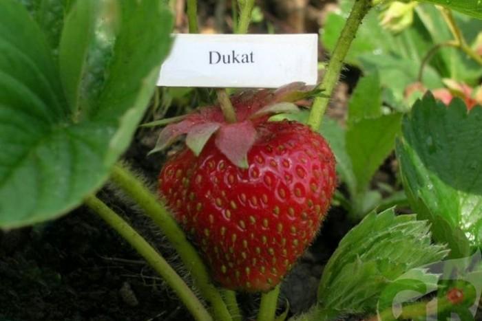 Клубника 'Дукат': фото, описание сорта, выращивание