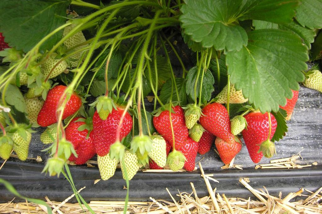 Клубника 'Роксана': описание, выращивание и характеристика сорта
