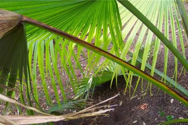 Ливистона китайская – домашняя пальма