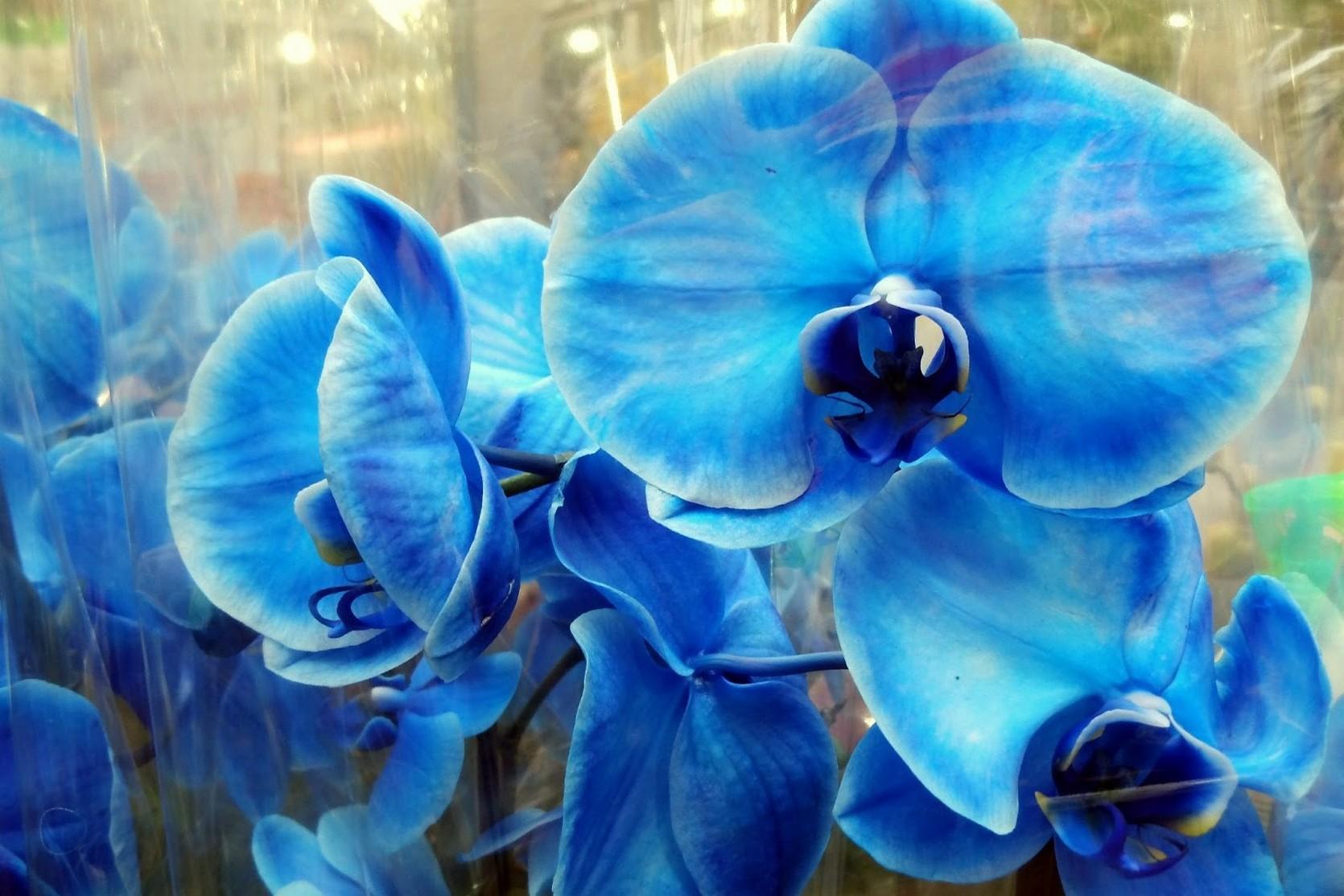 Голубой фаленопсис