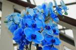 Синий фаленопсис