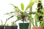 Euphorbia leuconeura