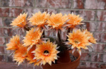 Echinopsis bouquet