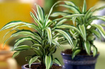 Dracaena deremensis 'White Stripe'