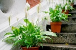 Spathiphyllum kochii