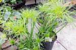 Cyperus papyrus 'Little Tut'